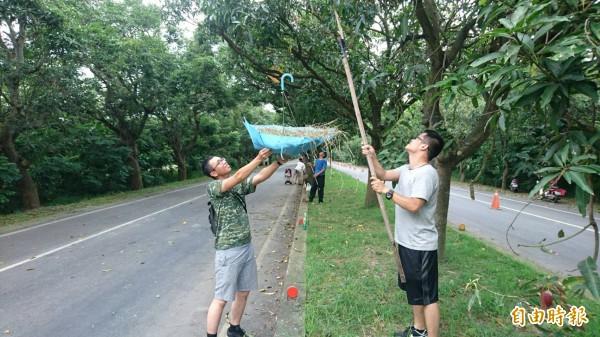 參加活動的人,各種「家私」準備齊全,比如用雨傘接土芒果。(記者楊金城攝)