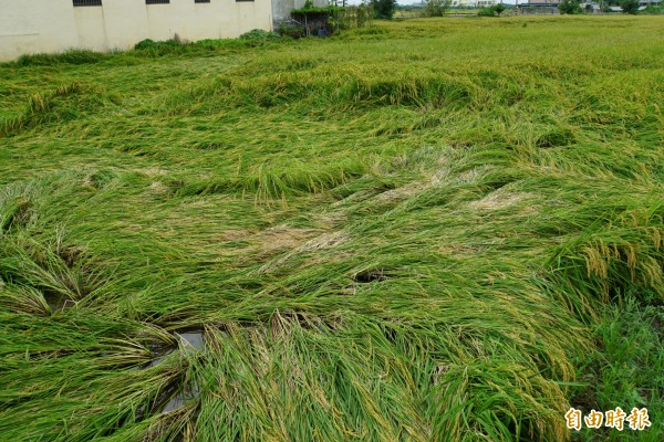 613豪雨造成雲林成熟水稻含水量過重而倒伏。(記者詹士弘攝)