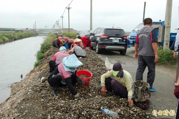 天候冷熱異常,文蛤損失居高不下。(記者陳燦坤攝)