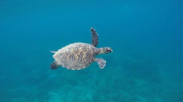 小琉球居民洪曼婷就提供她在小琉球厚石群礁海域所記錄的年幼玳瑁照片,因為夠清楚也被採用入庫,她說,當天只是自由潛水,卻遇上海洋嬌客悠游,不怕生的可愛身影,讓她覺得「真是賺到了!」。(洪曼婷提供)