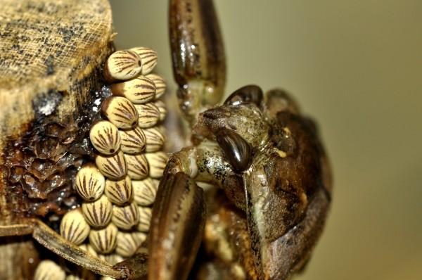 大田鱉雄蟲會趴在卵塊上或是利用口器噴水來維持卵塊的濕度。(台北市立動物園提供)