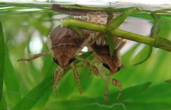 「負子蟲」雌蟲會分泌一種膠狀物質將卵牢牢的固定在雄蟲的背上。(台北市立動物園提供)