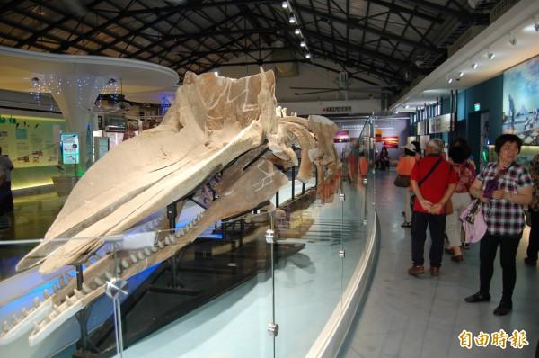 北遊之前展示抹香鯨骨骼標本7年。(記者楊金城攝)