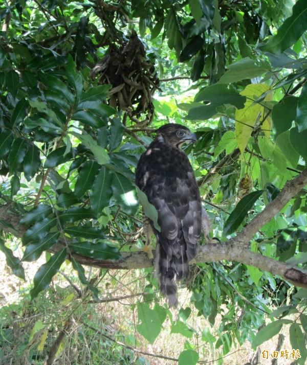 鳳頭蒼鷹屬二級保育類動物,算常見的留鳥。(記者黃佳琳攝)
