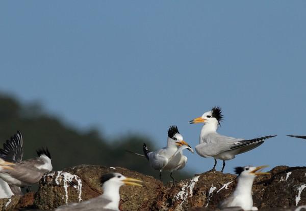 黑嘴端鳳頭燕鷗被列為國家極危物種。(圖由特生中心提供)