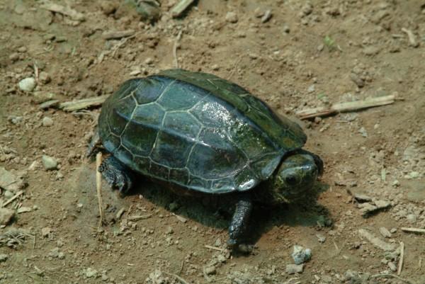 金龜近30年來在台灣本島幾乎未發現,目前僅知分布於金門,且有雜交危險。(圖由特生中心提供)