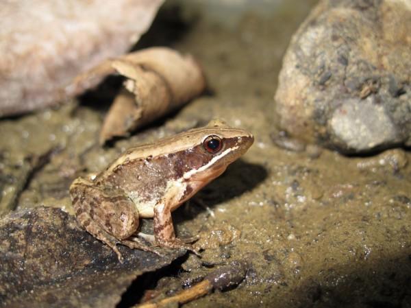 豎琴蛙僅知分布南投魚池,族群數量極少。(圖由特生中心提供)