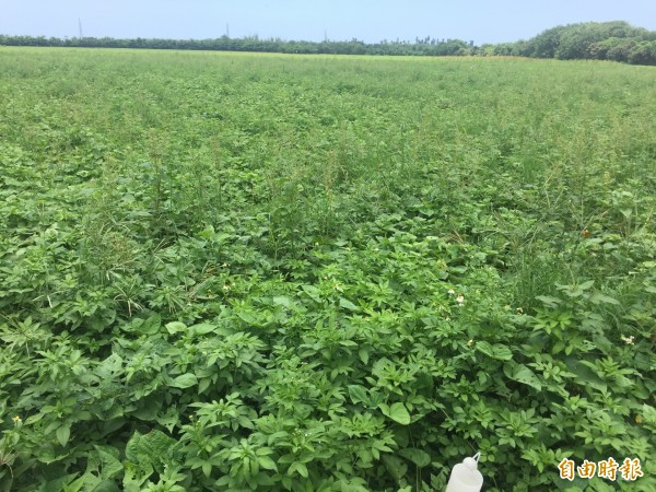 縣府政策明確,彰南開發農業,圖為台糖在彰化縣二林鎮的農地。(記者張聰秋攝)