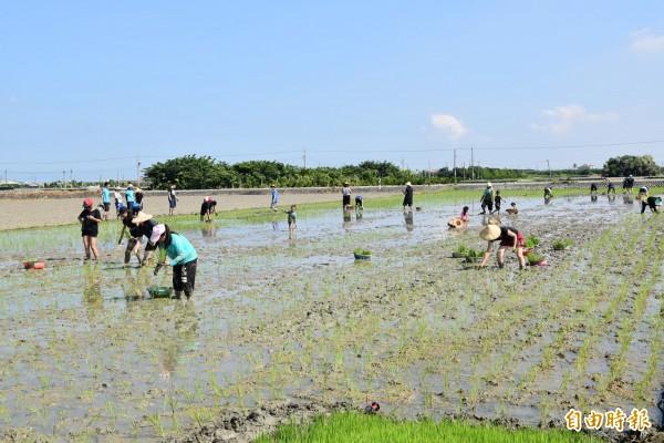 守護土地蝠氣稻活動,親子一起體驗插秧。(記者黃淑莉攝)