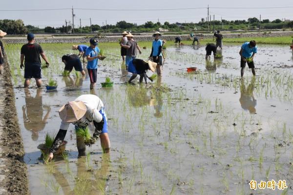 守護土地蝠氣稻活動,許多親子一起體驗插秧樂趣。(記者黃淑莉攝)