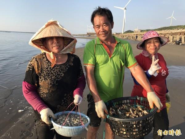 苗栗縣通霄白沙屯海域,地方居民忙採石頭蚵,今年因量多,小賺了一筆。(記者張勳騰攝)