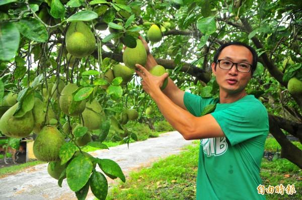 游振葦解說如何摘取文旦又不傷果樹。(記者花孟璟攝)