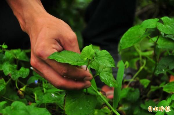 走進游家的興瑞文旦農場,卻聞到陣陣的魚腥味?原來文旦果樹下有魚腥草,魚腥草不但是中草藥,也能吸引昆蟲聚集,幫忙清除文旦上的蚜蟲薊馬等害蟲。(記者花孟璟攝)