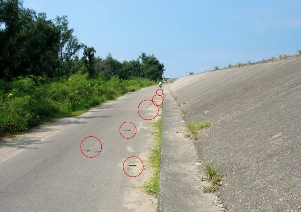 城西防風林一帶堤防,出現不少兇狠圓軸蟹異常慘死在馬上路。(志工提供)