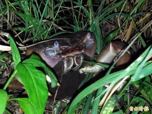 抱卵的兇狠圓軸蟹於夜間到海邊繁殖。(記者蔡文居攝)