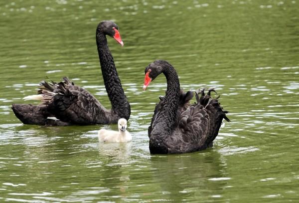 領域性很強的黑天鵝,有時會驅趕前來覓食的雁鴨呢!(詹德川先生拍攝,台北市立動物園提供)