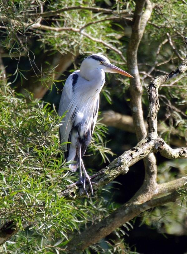 蒼鷺是水鳥觀察區的「房客」之一。(詹德川先生拍攝,台北市立動物園提供)