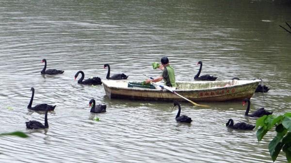 每天上、下午各一次的餵食時間,保育員會划船帶著食物進場。(台北市立動物園提供)