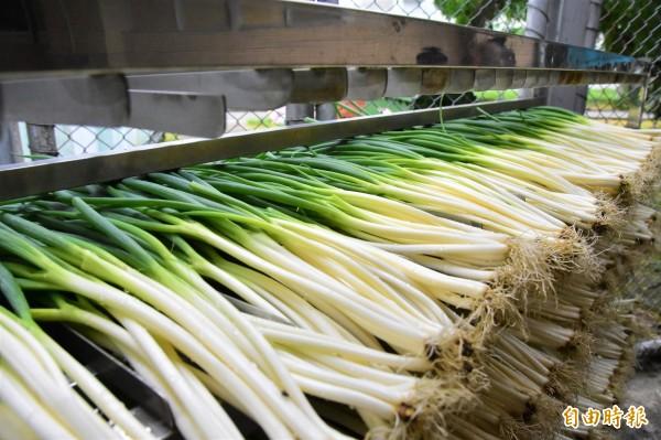 宜蘭監獄開辦安農洗蔥班,由品行良好受刑人協助蔥農洗蔥,每人每月還可獲得勞作金。(記者張議晨攝)
