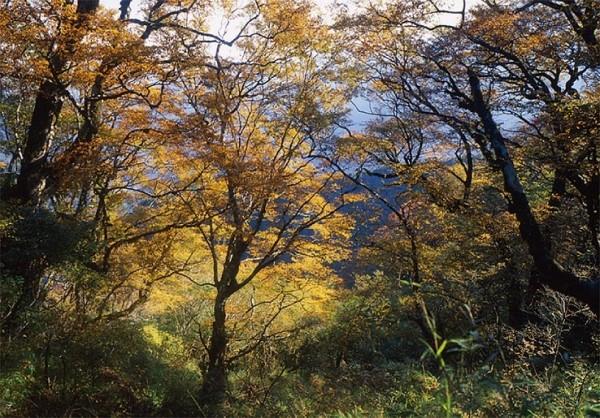 台灣山毛櫸每到秋天綠葉轉金黃,吸引大批遊客上山賞秋葉。(羅東林管處提供)