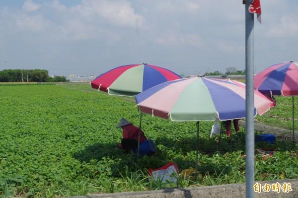 雲林縣有6萬3000公頃劃設第一類農地,縣府認為影響未來發展。(記者林國賢攝)