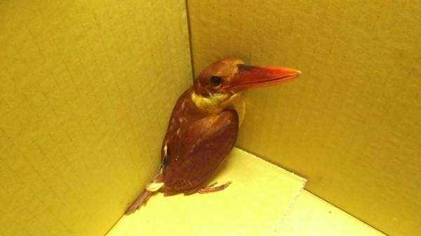 三芝區發現過境鳥赤翡翠遭撞昏厥,送往三芝動物之家治療。(動保處提供)