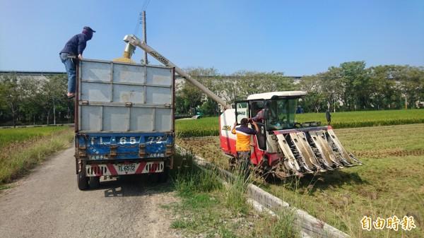 今年台南市二期稻作進入收割尾聲,收穫比往年歉收。(記者楊金城攝)
