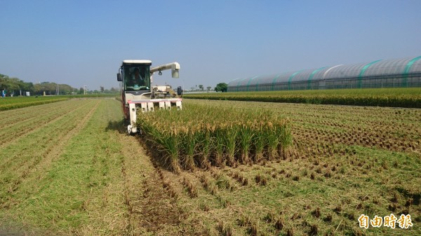 今年台南市二期稻作進入收割尾聲,稻價低於去年同期。(記者楊金城攝)