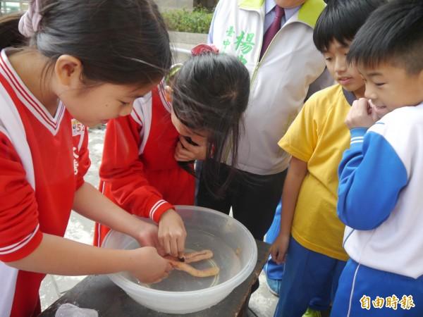 學童清洗烏魚卵,直呼好腥。(記者張軒哲攝)