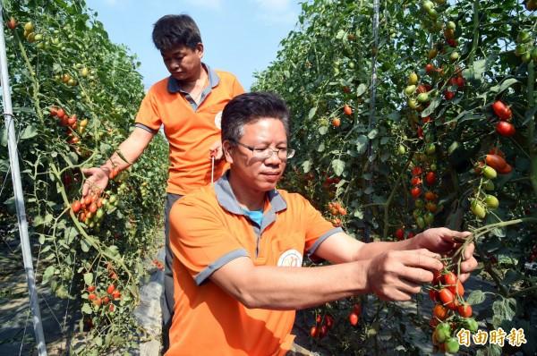 退役軍官蕭成龍(右)轉型有機農作,經營「成龍果園」種植小番茄甜度超高。(記者張忠義攝)