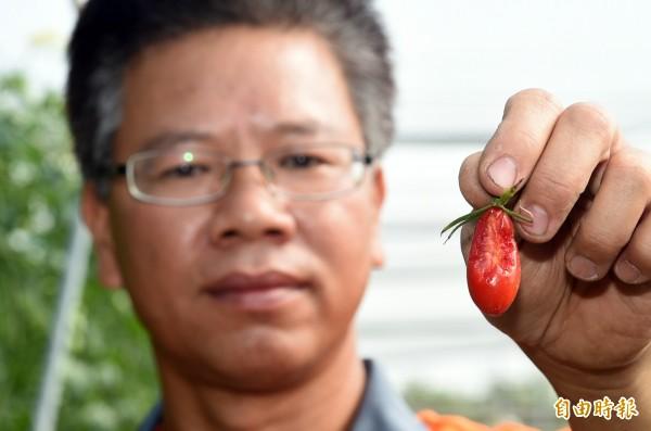 由於不噴灑農藥,田園裡番茄經常被小鳥啄食造成番茄損害,這就是「有機的生態」。 (記者張忠義攝)