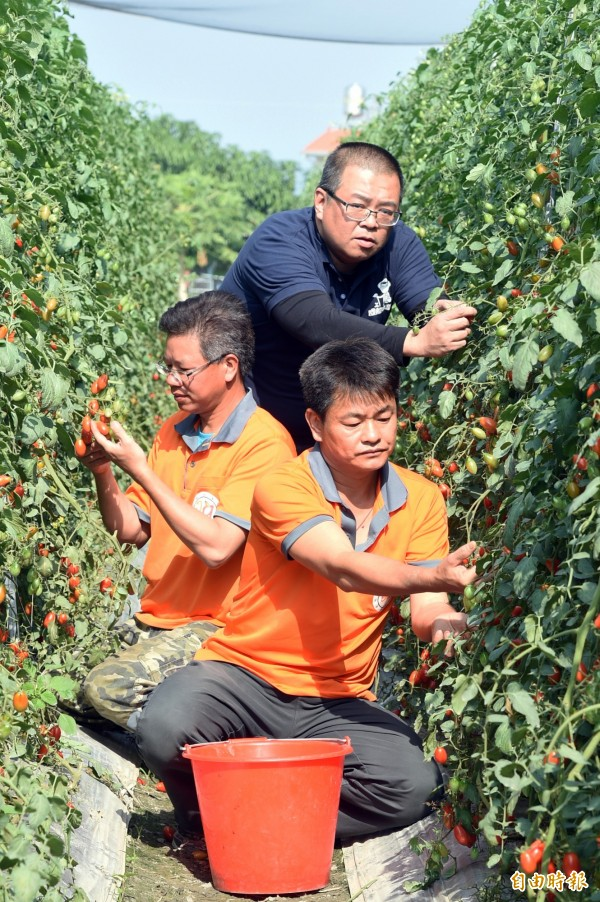 退役軍官轉型有機農作 ,經營「成龍果園」種植小番茄甜度超高,各蔬果均有履歷證明,吸引南投企業家白庭瑞(站立)產銷契作。(記者張忠義攝)