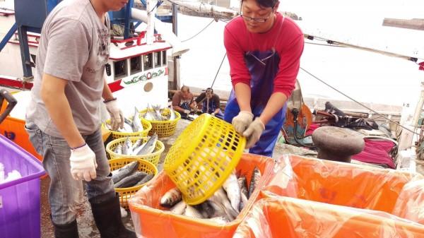 漁民忙著分裝烏魚。(新北市漁業及漁港事業管理處提供)