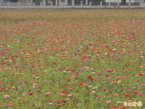 今年受到時節影響,竹北市西區的花期拉長,但花田分散,有波斯菊、向日葵、百日草和黃波斯菊等多元花種。(記者廖雪茹攝)