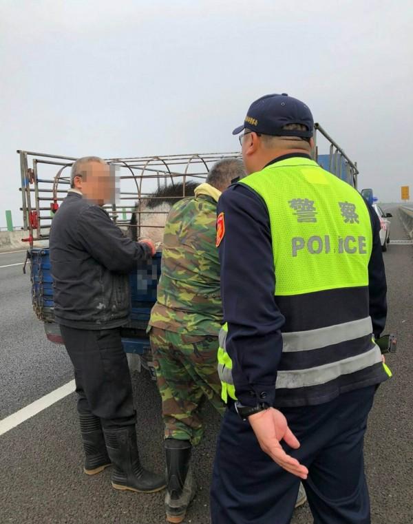 包括國道七隊員警、貨車駕駛等4名壯漢合力下,終於把體重300台斤的麝香豬搬上車。(記者湯世名翻攝)