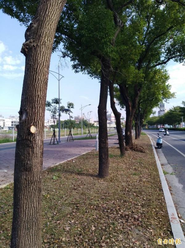 行道樹經「打枝」,枝下高度大增,行道樹變得整齊,乾淨,視覺穿透性也大增。(記者詹士弘攝)