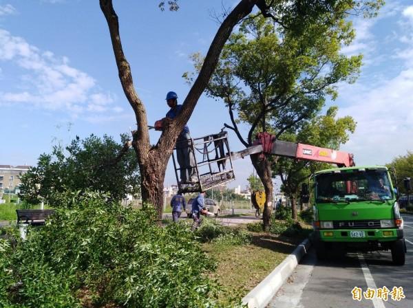 不僅人要有型,行道樹也要有行道樹的樣子,需要專業修剪。(記者詹士弘攝)