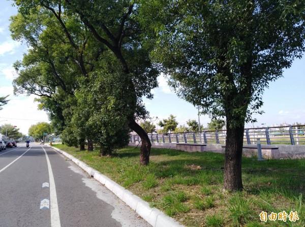 行道樹未經「打枝」,枝葉亂長,易影響觀瞻及視覺動線。(記者詹士弘攝)