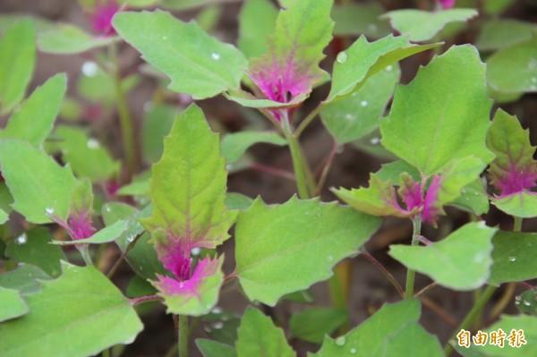 新埔鎮公所這次大手筆栽種紅藜麥,打造桃竹苗第一片紅藜麥海景觀。(記者黃美珠攝)