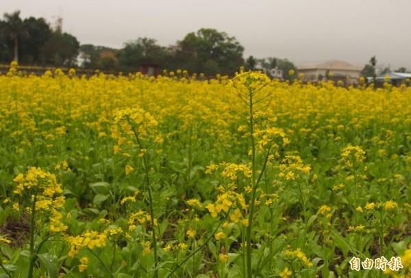 今年的油菜花長得雖然不高大,黃澄花海仍讓民眾快樂賞花。(記者王秀亭攝)