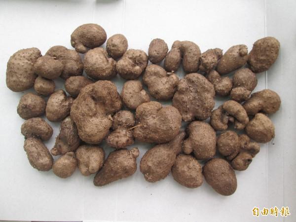 楊天富當年救命的樹薯,是因為在故鄉曾吃過。(記者蔡宗憲攝)