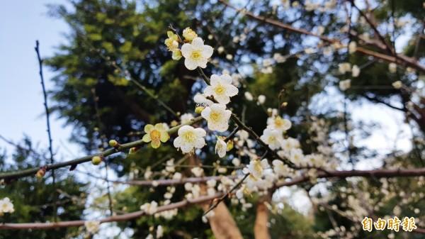 苗栗市貓裏山公園的梅樹,受近日寒流來襲,更是綻放。(記者彭健禮攝)