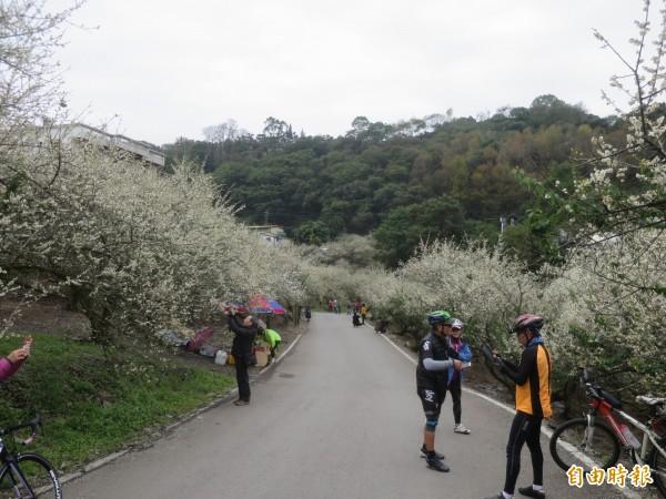 信義鄉土場梅區的梅花已達盛開階段,平日也吸引許多遊客賞花。(記者劉濱銓攝)