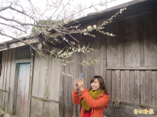 信義鄉外坪頂梅區,花開約4、5成,吸引遊客慕名前來秘境賞花。(記者劉濱銓攝)
