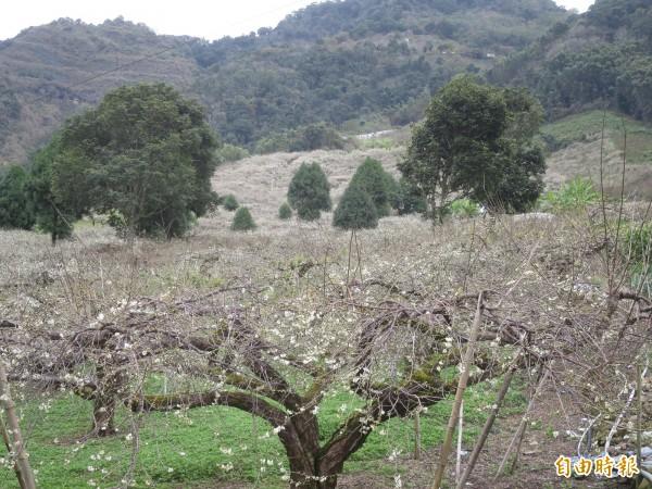 信義鄉外坪頂梅區,梅園佔地超過15公頃。(記者劉濱銓攝)