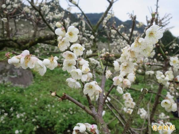 信義鄉外坪頂梅區梅樹枝條已開滿花朵。(記者劉濱銓攝)