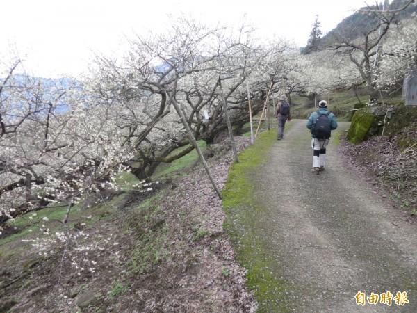 信義鄉外坪頂梅區,花開4、5成,平日也吸引遊客賞花。(記者劉濱銓攝)