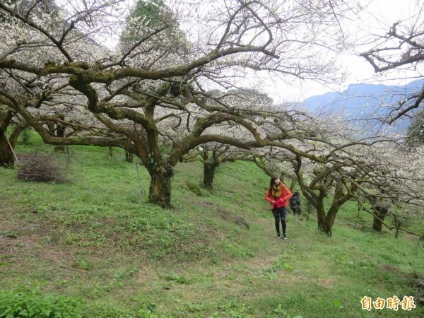 不少遊客在半山腰下車後,在信義鄉外坪頂梅區梅區漫步,享受梅香與花海景致,相當愜意。(記者劉濱銓攝)