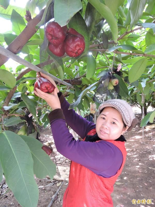 李添壽、林金梅夫婦利用紅土所種出「砲彈蓮霧」,目前正值盛產季。(記者林良哲攝)