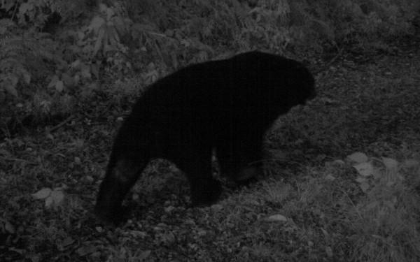 台灣黑熊。(台東林管處提供)